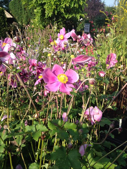 Die Filzige Herbst Anemone Ist Die Pflanze Des Monats 10 2014