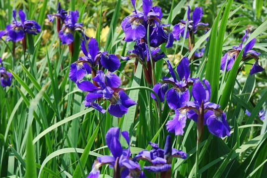 iris sibirica wiesenschwertlilie pflanze des monats 6 2012 klo garten und landschaftsbau. Black Bedroom Furniture Sets. Home Design Ideas
